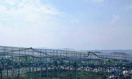 15.ぶどう畑の写真