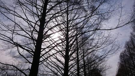 11.メタセコイヤ並木 裸樹6