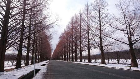 12.メタセコイヤ並木 裸樹5