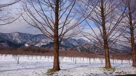 13.メタセコイヤ並木 裸樹7