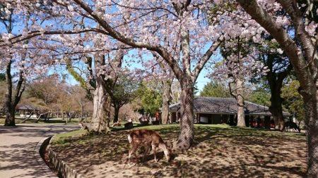 05.桜の木下の鹿