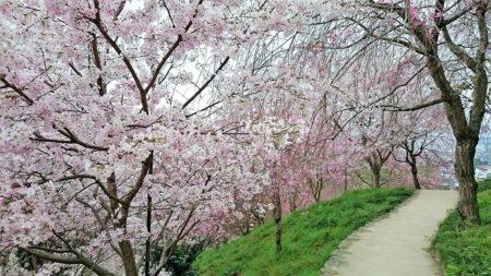 05.大神神社の桜3