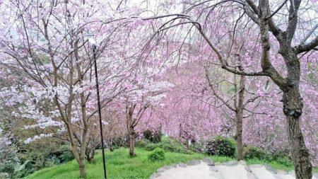 06.大神神社の桜4