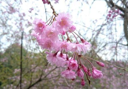 07.大神神社の桜5