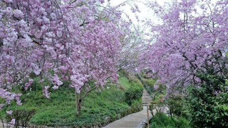 11.枝垂桜