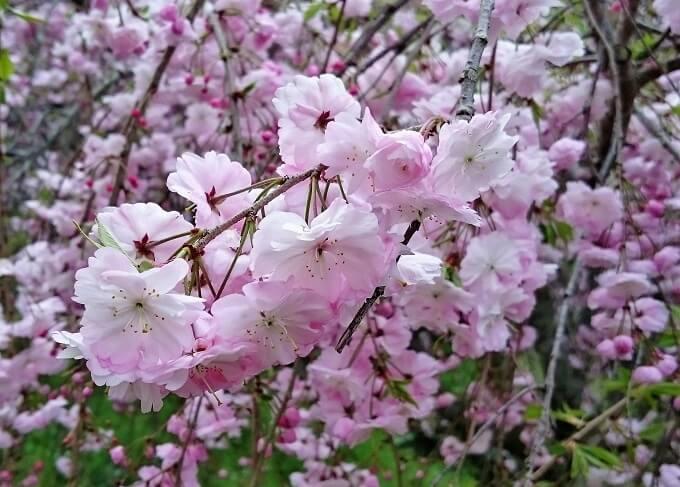 12.枝垂桜2