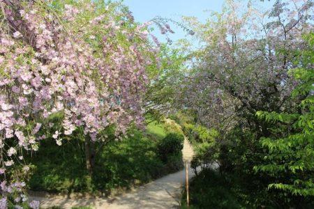 13.葉の混じった枝垂桜