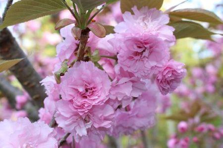 14.八重桜