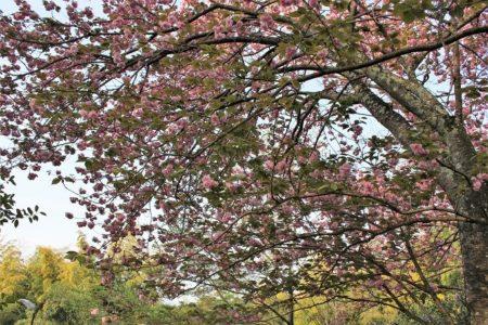 15.八重桜3