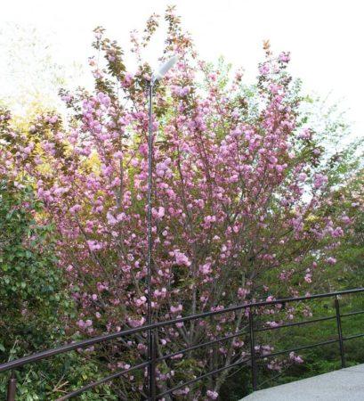 16.八重桜2