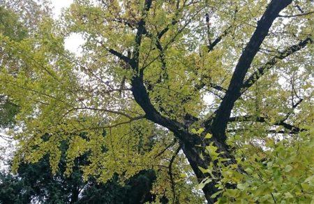 07.イチョウの木の写真
