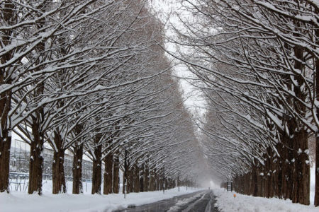 24.雪化粧のメタセコイア並木の写真4