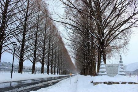 08.雪のメタセコイア並木の写真