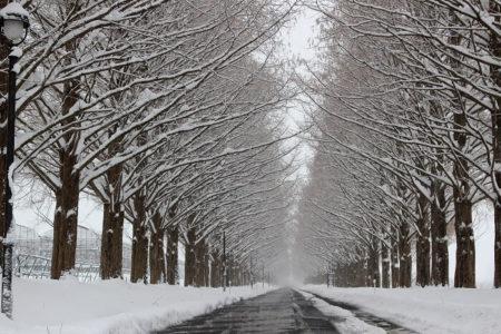 15.雪化粧のメタセコイア並木の写真3