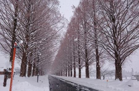 12.雪化粧のメタセコイア並木の写真