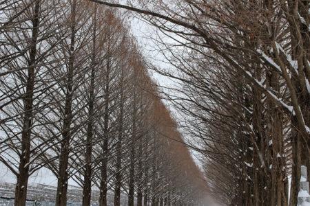 10.メタセコイア並木 裸樹の写真