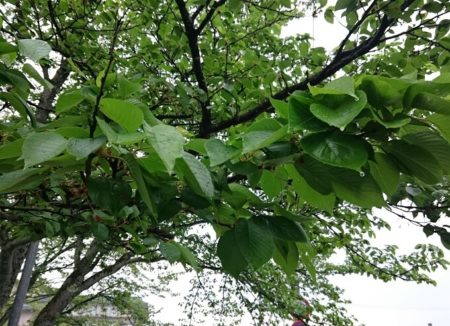 04.葉桜の写真