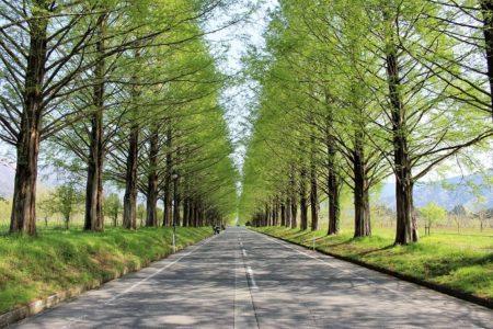 09.新緑のメタセコイア並木の写真