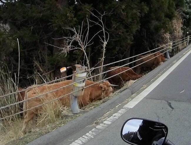 32.放牧されている牛の写真