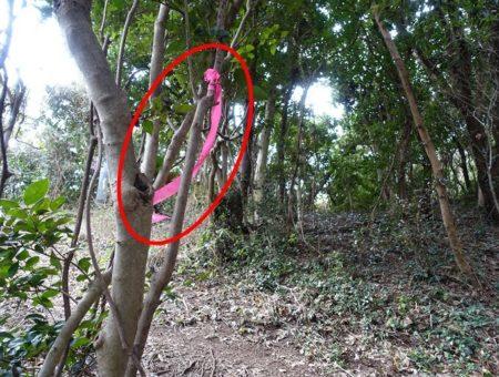 木の所々にある赤いリボンの目印の写真